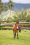 Horse, Hane, Ua Huka, Marquesas Islands, French Polynesia<br />