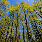 """""""Height of Spring""""<br /> <br /> Beautiful tall trees during springtime in the forests of the Blue Ridge Mountains of Virginia!!<br /> <br /> The Blue Ridge Mountains by Rachel Cohen"""