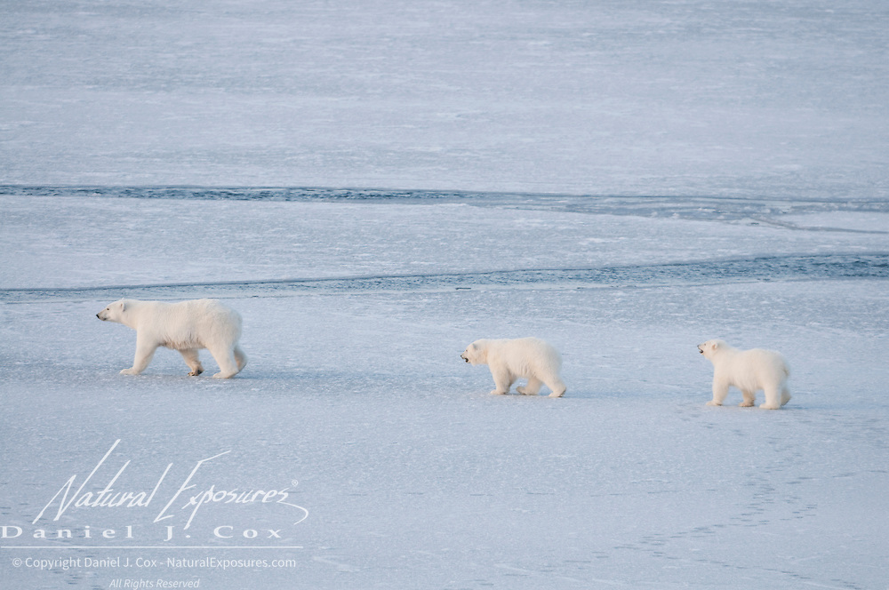 A mother polar bear and her cubs navigate the newly forming and unstable ice in the Chukchi Sea.