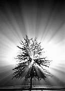 Light radiates from behind a lone tree in the fog.