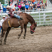 The bronco jumps widely to get rid of the inopportune rider. The cowboys is violently shook like a scarecrow during this no-saddle rodeo.