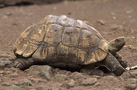 Leopard Tortoise, (Testudo pardalis babcocki) South America.