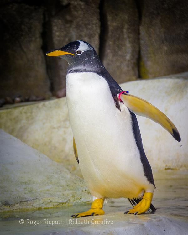 Gentoo Penguin walking close up
