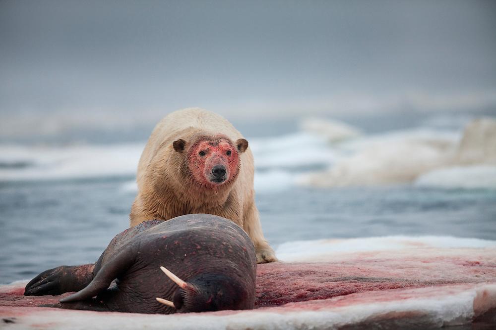 Canada, Nunavut Territory, Polar Bear (Ursus maritimus) feeding on Walrus (Odobenus rosmarus) lying on sea ice in Frozen Strait along Hudson Bay