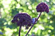 Purple angelica (Angelica gigas), Dang Gui. Rød kvann, Korea-kvann.