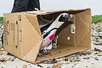 Rehabilitated adult African Penguin being released, Bird Island, Algoa Bay, Eastern Cape, South Africa