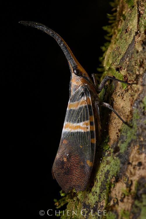 Lantern bug (Pyrops hobbyi). Sarawak, Malaysia.