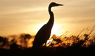 Wildlife Image - Great Blue Heron