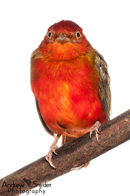 Female Guianan Red Cotinga (Phoenicircus carnifex) - Iwokrama, Guyana