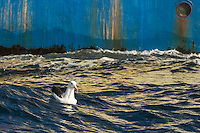 Black-Browed Albatross floating on the ocean at the back of a purse-sein trawler, Cape Canyon Trawl Grounds, South Africa