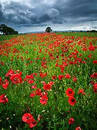 Photographer: Chris Hill, Poppy Field, County Kildare