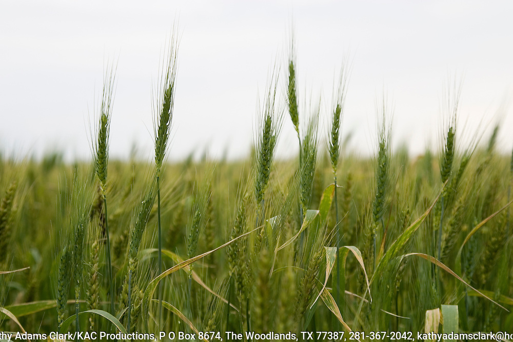 Wheat in early spring near Seguin, Texas.