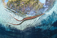 Brown Water snake<br />