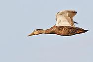 Mottled Duck - Anas fulvigula - male