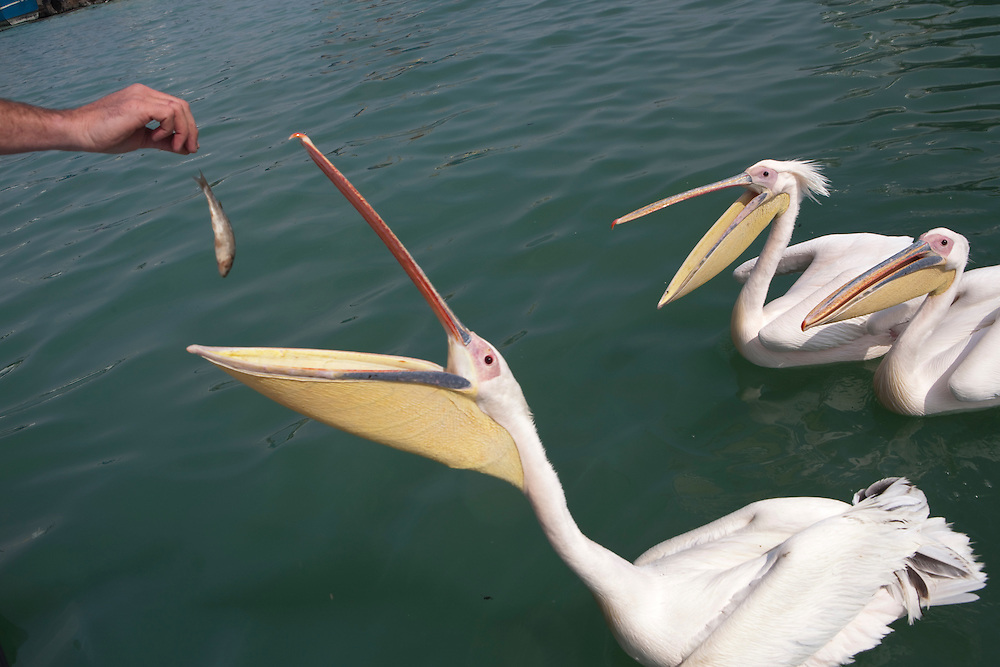 Pelicans being fed at Walvis Bay port, Namibia.