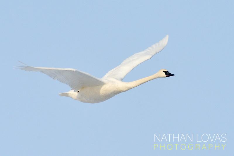 Trumpeter Swan (Cygnus buccinator) adult in flight;  Minnesota.