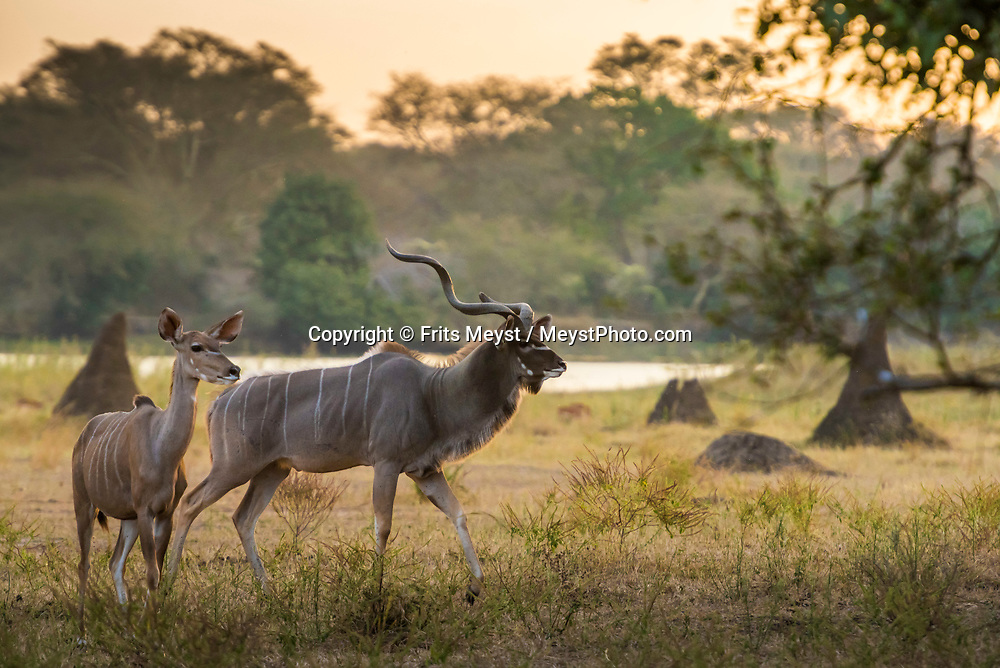 Malawi, July 2017. Kudu in the sunset. FRom Mvuu Lodge one can explore Liwonde National Park through game drives and boat safari. Malawi is known for its long rift valley and the third largest lake in Africa: Lake Malawi. Malawi is populated with friendly welcoming people, who gave it the name: the warm heart of Africa. In the south the lake make way for a landscape of valleys surrounded by spectacular mountain ranges. Photo by Frits Meyst / MeystPhoto.com