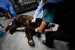 ROMANIA ONESTI 28OCT12 - A tranquilised Eurasian brown bear is transferred to his den on a stretcher after arriving at the Zarnesti bear sanctuary.....The bear was rescued from the decrepit Onesti Zoo where it lived for 8 years in degrading conditions and will be transported to the Zarnesti bear sanctuary.....jre/Photo by Jiri Rezac / WSPA......© Jiri Rezac 2012