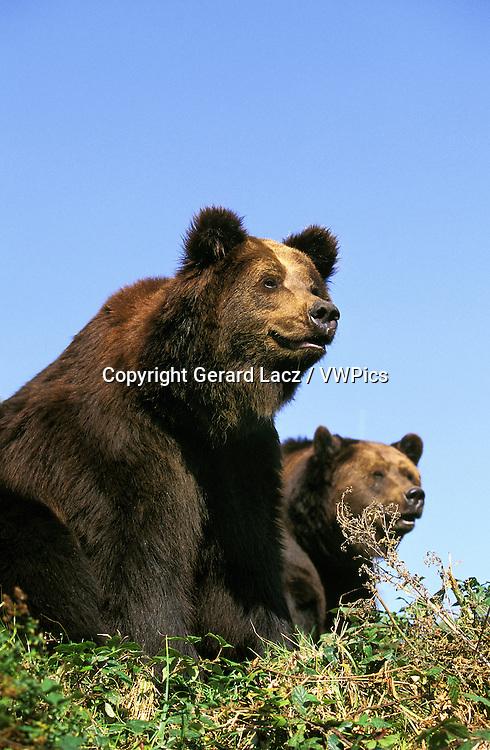 Brown Bear, ursus arctos, Adults