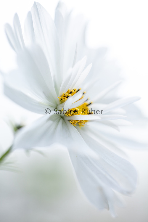 Cosmos bipinnatus 'Fizzy White' - garden cosmos