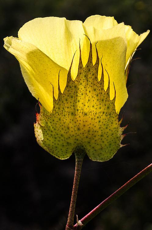 Galapagos Cotton (Gossypium barbadense var. darwinii)<br /> Santa Cruz Island. GALAPAGOS ISLANDS<br /> ECUADOR.  South America