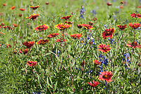 Indian Blankets (Gaillardia pulchella) Burnet County, Texas