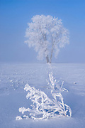 Hoarfrost covered Plains cottonwood tree and remains of canola crop<br />