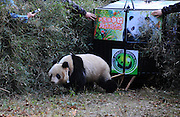 YA\AN, CHINA - NOVEMBER 19: (CHINA OUT) <br /> <br /> Chinas 5th Human-raised Giant Panda Is Set Free<br /> <br /> Two-year-old female panda Hua Jiao, wearing a GPS collar, is released at the Liziping National Nature Reserve on November 19, 2015 in Ya\'an, Sichuan Province of China. Hua Jiao is the fifth panda released into the wild over nine years.<br /> ©Exclusivepix Media