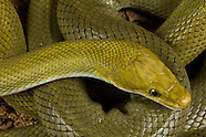 Bush Vipers and Rat Snakes