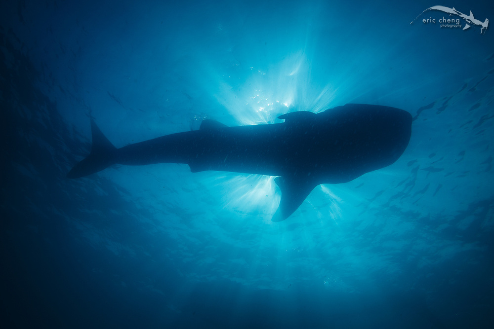 A silhouette of a whale shark (Rhincodon typus) at the largest known aggregation in the world at Isla Mujeres, Mexico