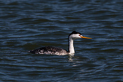 Clark's Grebe (Aechmophorus clarkii), San Francisco International Airport, Millbrae, California, United States of America
