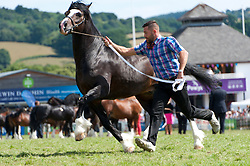 © Licensed to London News Pictures. 25/07/2018. Llanelwedd, Powys, UK. The grandstand is packed full for the prestigeous Cob Stallion event on the third day of the Royal Welsh Agricultural Show. The Royal Welsh Agricultural Show is hailed as the largest & most prestigious event of its kind in Europe. In excess of 200,000 visitors are expected this week over the four day show period. The first ever show was at Aberystwyth in 1904 and attracted 442 livestock entries. Photo credit: Graham M. Lawrence/LNP