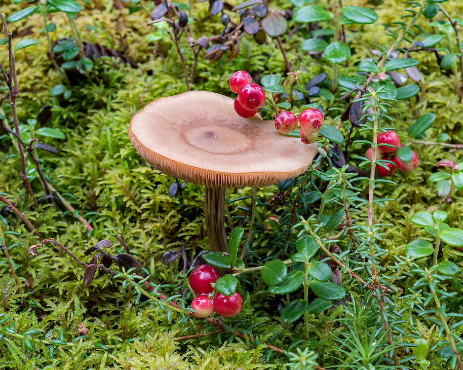 One brown mushroom (unknown species), and a low-bush cranberry (Vaccinium vitas-idaea)  bunch with red fruit (also called mountain cranberry and lingonberry), and moss background, summer, Denali National Park, Alaska, USA