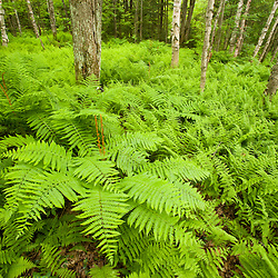Ostrich ferns and a hardwood forest in Eden, Vermont.  Green Mountains.