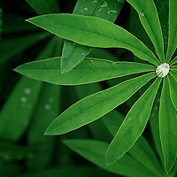 Lupine leaves with water droplets