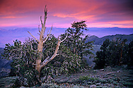 Stormy dawn over Bristlecone pine and the Sierra Crest, Ancient Bristlecone Pine Forest White Mountains, CALIFORNIA