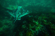 Bat Ray at Treasure Island in Laguna Beach California