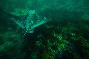 Bat Ray at Treasure Island in Laguna Beach California