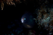 Gymnothorax thyrsoideus (White-Eyed Moray)