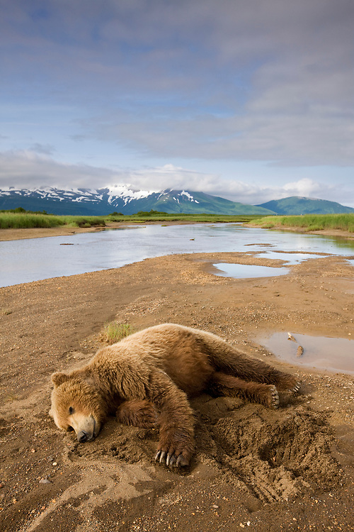 USA, Alaska, Katmai National Park, Brown Bear (Ursus arctos) resting in stream bed along Hallo Bay