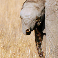 Africa, Kenya, Amboseli. Baby Elephant of Amboseli peeks out from behind mother's leg.