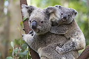 Koala <br /> Phascolarctos cinereus<br /> Eight-month-old joey on mother's back<br /> Queensland, Australia<br /> *Captive