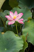 Lotus flower at the Huxinting Teahouse in Yu Yuan Gardens Shanghai, China