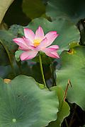 Lotus flower at the Huxinting Teahouse in Yu Yuan Gardens Shanghai, China