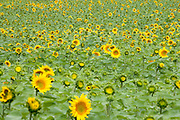 sunflowers open in various stages in the field