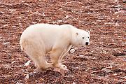 CANADA, Churchill (Hudson Bay).Polar bear (Ursus maritimus) and kelp