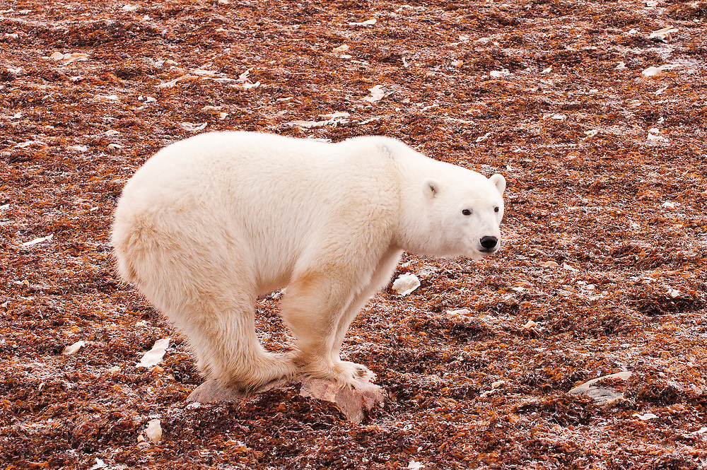 CANADA, Churchill (Hudson Bay).Polar bear (Ursus maritimus) and kelp