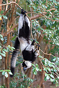 Black-and-white ruffed lemur (Varecia variegata) in Palmarium Reserve, Madagascar.