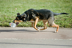 Young playful Black and Tan mongrel dog chases and plays with a discarded plastic bottle found in the park  <br /> <br /> 14th March 2010<br /> Images Copyright Paul David Drabble
