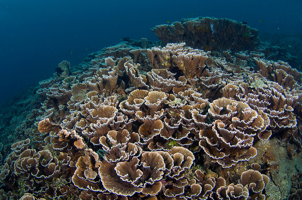 Coral Reef in Lembeh Strait, Indonesia